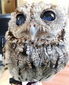 Owl with Stars in the eyes ✨