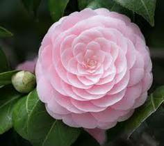 Doris Ellis, Harriet Bisbee, Mary Alice Cox, Nuccio's Cameo, or Pink Perfection Camellias