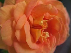 A beautiful fragant rose from my garden - 2015