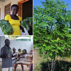 Haiti's miracle Moringa tree is a super-food rich in vitamins and minerals. Each of @secondmilehaiti's graduating moms receives their own Moringa tree and a lesson from Ama on how to plant and care for the tree at their homes. #moringa #moringaleaves #moringapowder #lastingchange #sustainability #nutrition #gardens #superfood #vitamins #minerals #healthy #kids #moms #families #haiti