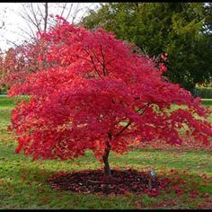 Dwarf trees are perfect accent trees to any landscape design. Check out evergreen, fruit and ornamental dwarf trees all right here! Small Garden, Landscape Trees, Garden Trees, Plants, Cool Plants, Dwarf Trees, Amur Maple, Fast Growing Trees, Growing Tree