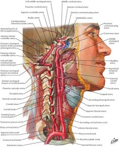 64 ideas medical art anatomy human body for 2019 Nerve Anatomy, Human Body Anatomy, Human Anatomy And Physiology, Throat Anatomy, Arteries Anatomy, Medical Art, Medical Science, Arte Com Grey's Anatomy, Internal Carotid Artery