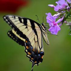 Butterfly! #butterfly