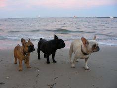 Mini French Bulldogs