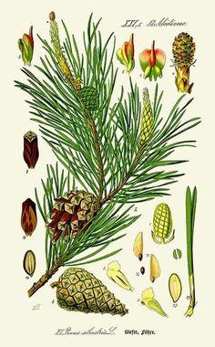 Pin sylvestre (Pinus sylvestris) | Remèdes de Grand-Mère