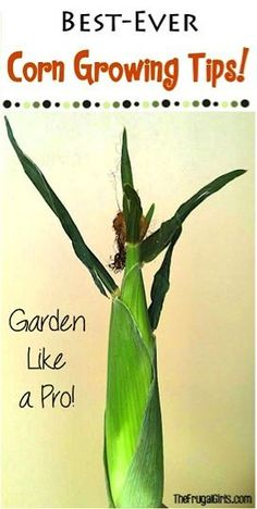 Corn Growing Tips