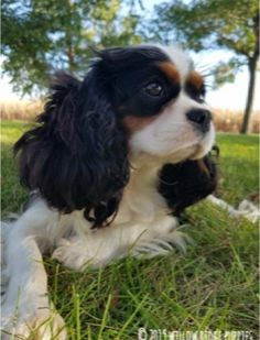 Willow Ridge Puppies |  Puppies For Sale Puppies Puppies, Puppies For Sale, Dogs, Animals, Animales, Animaux, Pet Dogs, Doggies, Animal