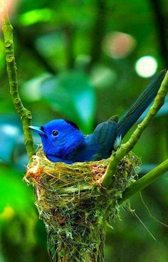 Adorable blue bird in his tiny nest.....