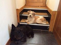 Sporting lucas terrier - Tattie and Scottie cross - Scruffy