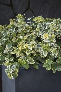 Golden Prince® Wintercreeper is a colorful evergreen shrub. Its new foliage brightly edged in golden-yellow before maturing to green. A beautiful contrast. Low grower well suited for borders, hedges or specimen accent planting. Evergreen Shrubs, Plants, Variegated Plants, Foundation Planting, Large Flower Pots, Plant Catalogs, Monrovia Plants, Garden Styles, Healthy Plants