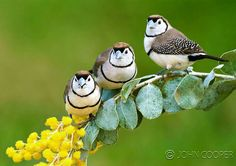 The Double-barred Finch (Taeniopygia bichenovii) is an estrildid finch found in dry savannah, tropical dry grassland and shrubland habitats in northern and eastern Australia. Photo: John Cooper.