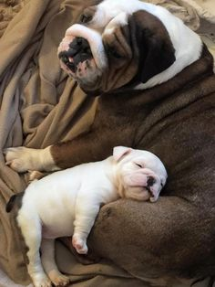 The major breeds of bulldogs are English bulldog, American bulldog, and French bulldog. The bulldog has a broad shoulder which matches with the head. Cute Bulldog Puppies, Cute Bulldogs, English Bulldog Puppies, British Bulldog, Cute Dogs And Puppies, English Bulldogs, Doggies, Baby Bulldogs, American Bulldogs