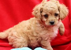 Dalton is an adoptable Cockapoo Dog in Los Angeles, CA. NOW ACCEPTING APPLICATIONS !!! Please scroll to the bottom of this Bio for all Adoption information/instructions.   Come meet me this Saturday 7...
