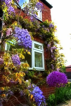 Wisteria decorated house in Stockport, Greater Manchester, England