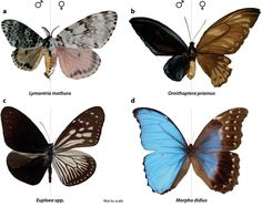 Four examples ofgynandromorph (dual-sex) butterflies and moths. Gynandromorphs are organisms which display both male and female physical characteristics, as seen here in the wings of each insect.    And it is not only the wings that are affected. The insect's body is split in two, its sexual organs are half and half, and even its antennae are different lengths.    This rare sexual chimera is caused when the sex chromosomes fail to separate during fertilisation.