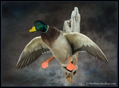 Birdman Studios Waterfowl Taxidermy * Upland & Bird Taxidermy * Duck Mounts * Goose Mounts *Birdman Studios by Todd Huffman * Upland & Bird Taxidermy Taxidermy Decor, Taxidermy Display, Bird Taxidermy, Duck Hunting Decor, Hunting Stuff, Duck Mount, Duck Species, Deer Mounts, Waterfowl Hunting