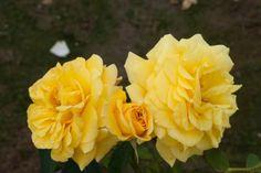 Rosa Goldstern® TANtern
