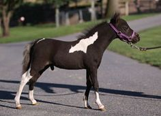 Miniature Horses For Sale, Minis For Sale, Mini Horses For Sale, Miniature Horse Farms Directory