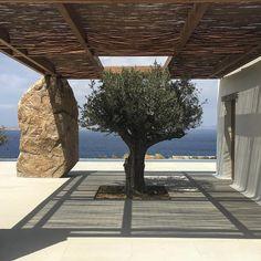 Olive tree in! #greeksummer #kstudio