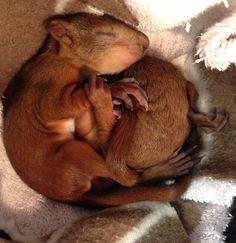 Arne and Carlos, 2,5 weeks. Sleeping squirrel babies.