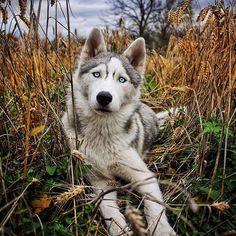Life with a Siberian husky Wolf Husky, Husky Husky, I Love Dogs, Cute Dogs, Cute Dog Pictures, Snow Dogs, Alaskan Malamute, Beautiful Dogs, Beautiful Morning