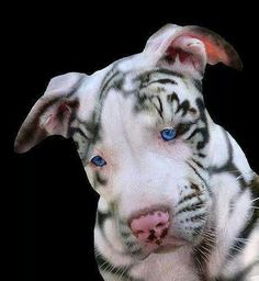 Pit Bull. Holy crap! At first I thought it was a white tiger! The. I thought, it's face isn't the right shape. This is such a cute animal!!!!