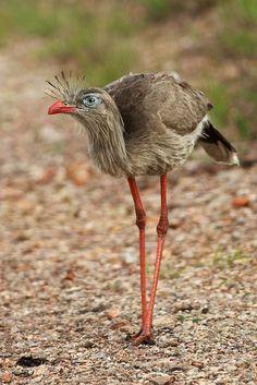 Red-legged Seriema Amazing World beautiful amazing