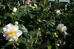 Greener Designs: How to Care for Camellias