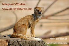 Shaman Mongoose's Wisdom