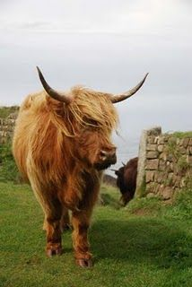 ok.  if I could have cows.... I would want this one.  A long haired hippy cow.  This is a Scottish Highland Heritage breed.