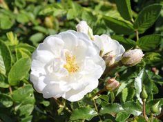 Bodendeckerrose 'Innocencia' ® - Rosa 'Innocencia' ® ADR-Rose