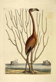 Birds from The Natural History of Carolina, Florida, and the Bahama Islands (1754) by Mark Catesby and George Edwards http://biodiversitylibrary.org/item/41086#page/1/mode/1up