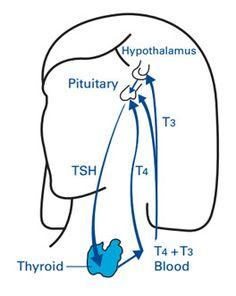 how-does-thyroid-gland-work