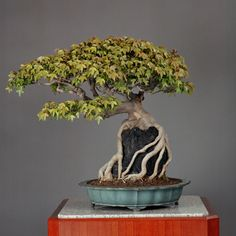 Kaede Ishitsuki (maple planted on a rock) in a kokyo (antique mirror)-shaped vessel made in Tokoname, Aichi Prefecture.    Age: about 90 yrs,  Height: 57 cm.