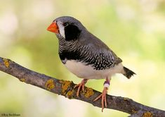 Male Black cheeked Zebra Finch. I want to add one of these to my flock.
