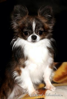 """Do you have a chi I could play with?"""" #dogs #pets #LonghairedChihuahuas Facebook.com/sodoggonefunny /// I could consider a long-haired chihuahua ..."""