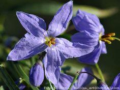 Flora Argentina | Imagen de la Especie | Amor porteño