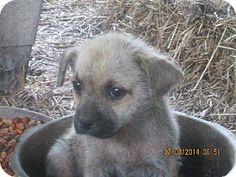 Rockaway, NJ - Pekingese Mix. Meet Peke-a-Boo, a puppy for adoption. http://www.adoptapet.com/pet/11177729-rockaway-new-jersey-pekingese-mix