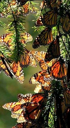 Monarch Butterflies resting during their kilometer migration from Mexico to Canada.Pinned by Western Sage and KB Honey (aka Kidd Bros) Beautiful Bugs, Beautiful Butterflies, Beautiful World, Beautiful Creatures, Animals Beautiful, Butterfly Kisses, Butterfly Wings, Butterfly Wallpaper, Monarch Butterfly