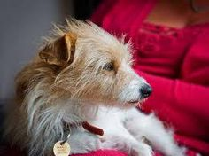 wire-haired jack russell terriers