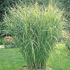 Zebra Grass. Instead of using the traditional Pampass Grass on the side of your house. $9.99 each - guess you would need 9-10