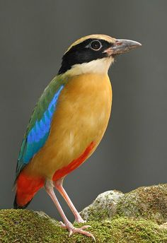 Blue-winged Pitta (Pitta moluccensis). A native of Australia and Southeast Asia. photo: Con Foley.