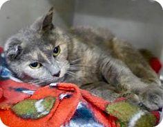 Westampton, NJ - Domestic Shorthair. Meet Lola 34166196, a cat for adoption. http://www.adoptapet.com/pet/17403256-westampton-new-jersey-cat