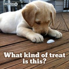 Mind Blowing Facts About Labrador Retrievers And Ideas. Amazing Facts About Labrador Retrievers And Ideas. Perro Labrador Retriever, Retriever Dog, Cute Puppies, Cute Dogs, Dogs And Puppies, Doggies, Baby Animals, Cute Animals, Cute Puppy Pictures