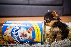 Meysi, the world's smallest dog