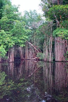 Black River mangroves