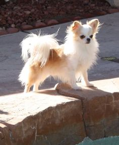 Pretty Long Haired Chihuahua #chihuahua