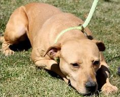 Meet URGENT- SERENTIY IN PACKED KILL SHELTER, an adoptable Pit Bull Terrier looking for a forever home. If you're looking for a new pet to adopt or want information on how to get involved with adoptable pets, Petfinder.com is a great resource.
