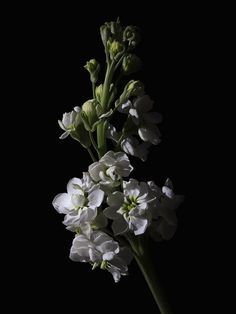 Low Key Flowers by Tim Abeln Photography and Digital Art Prints. Beautiful wall decoration for your home and office. Matthiola incana - Due to the spicy sweet smell, the flower is associated with romance and loving attention. This low-key lighting still life will look great as decoration on your wall in your home and office. #flowers #homedecor #interiordesign #fineart #art #photography #inspiration #stillife