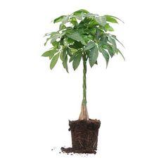 Ogreen Pachira Aquatica Plant